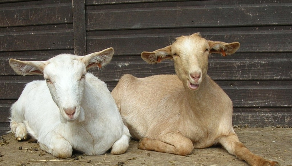 May Cottage Goats